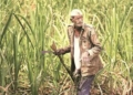 sugar mills, bailout package sugarcane farmers government