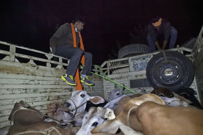 cow smugglers, cattle transporters, media